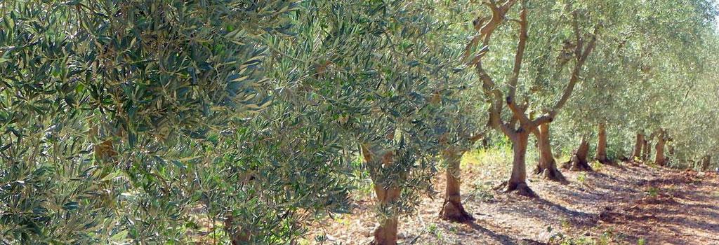 Champ d'oliviers - Gites Trotte Vache à Valensole en provence